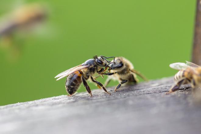 ミツバチの性別:女が強い社会