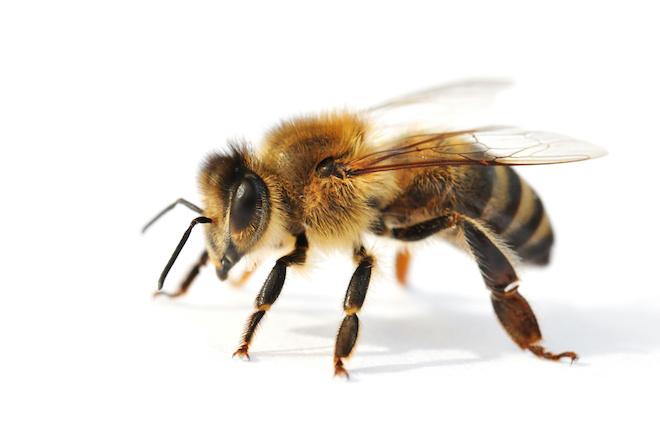 ミツバチは刺す?ミツバチの駆除や被害について